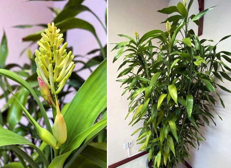 Ý nghĩa cây phát tài, cây phát tài ra hoa là điềm gì?