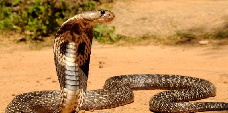 Nằm mơ thấy rắn hổ mang đánh con gì?