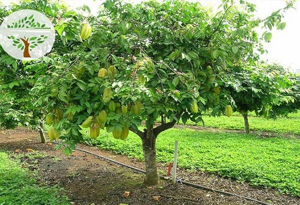 Nên trồng cây ăn quả gì trước nhà? Cây khế tượng trưng cho sự phát tài, thịnh vượng