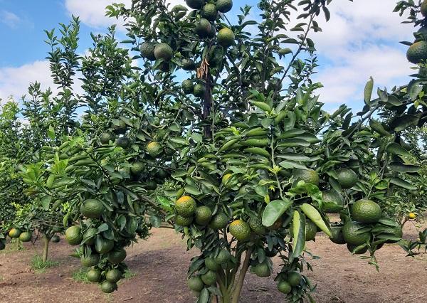 Nên trồng cây ăn quả gì trước nhà? Cây cam tượng trưng cho thịnh vượng, giàu có