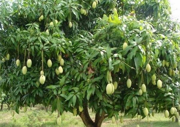 Nên trồng cây ăn quả gì trước nhà? Cây xoài tượng trưng cho sự đầy đủ, sung túc