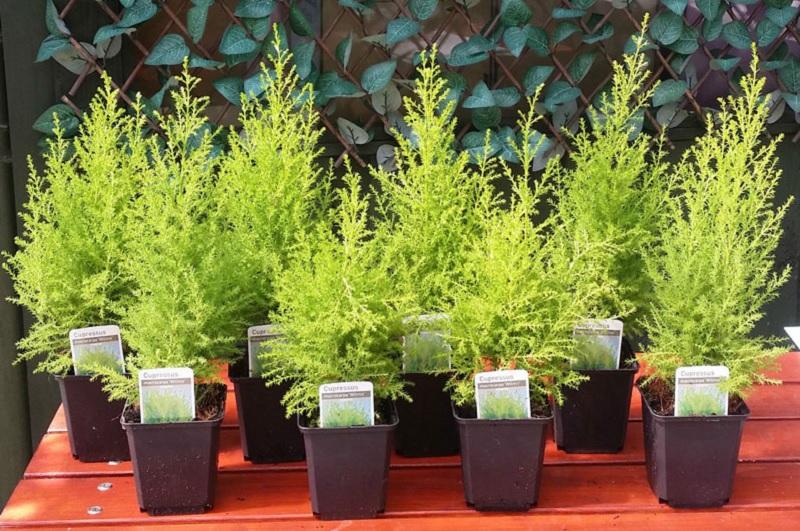 Trồng cây tùng trước nhà. Có nên trồng cây tùng trước nhà không?