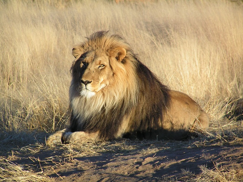 Nên đánh con gì khi mơ thấy sư tử