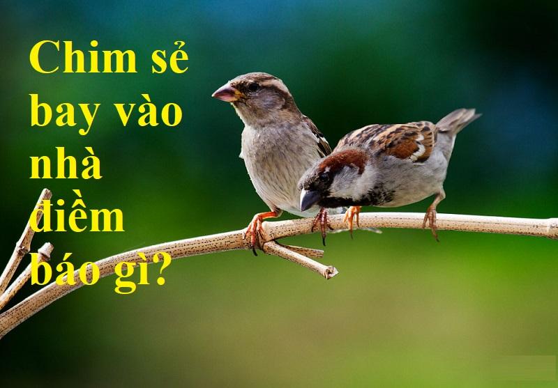 Chim sẻ bay vào nhà là điềm gì?