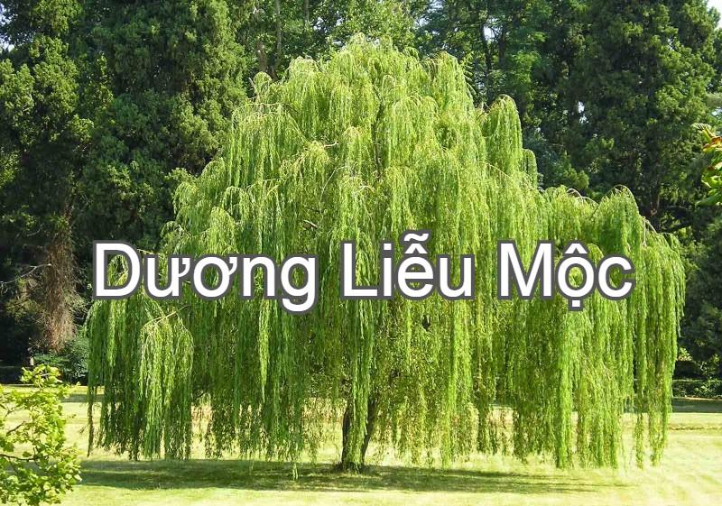 Dương Liễu Mộc, 6 loại mệnh Mộc