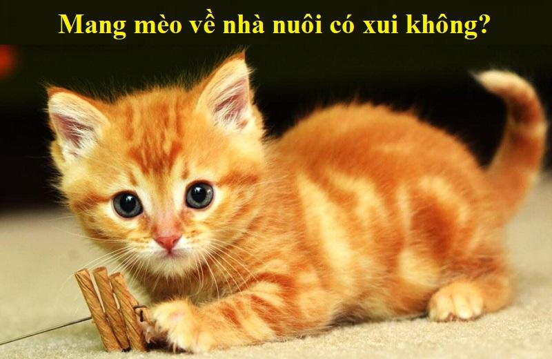 Mang mèo về nhà nuôi có xui không? Có nên mang mèo về nhà nuôi hay không?