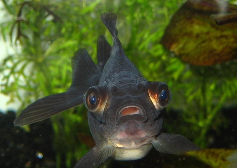 Mệnh Mộc hợp nuôi cá màu gì? Mệnh Mộc nuôi cá gì hợp phong thủy?