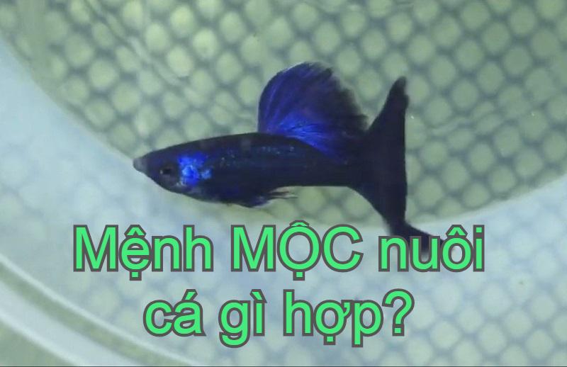 Mệnh Mộc nuôi cá gì hợp phong thủy? Mệnh Mộc hợp nuôi cá màu gì?