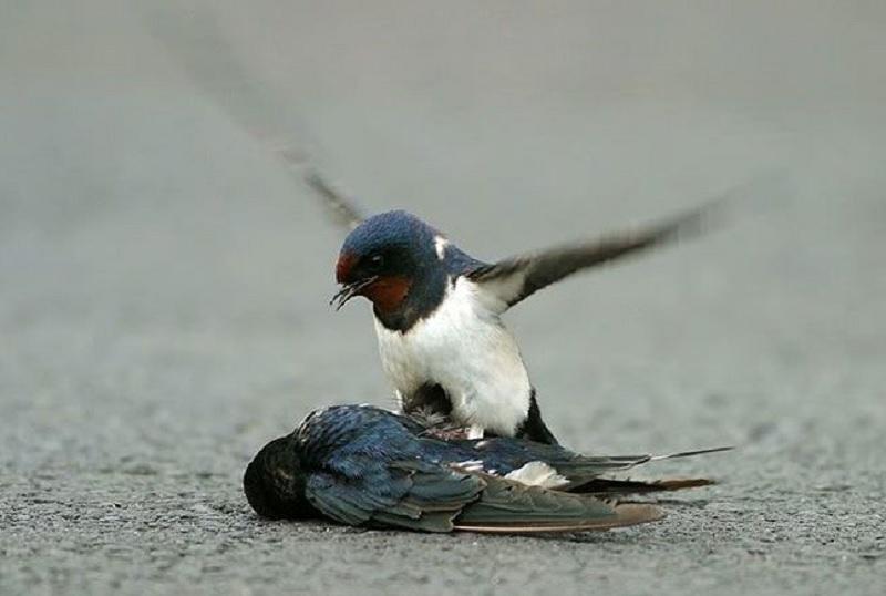 Mơ thấy chim yến. Nằm mơ thấy chim yến chết là điềm gì?
