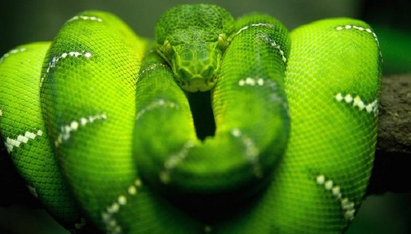 Mơ thấy rắn xanh là điềm gì?