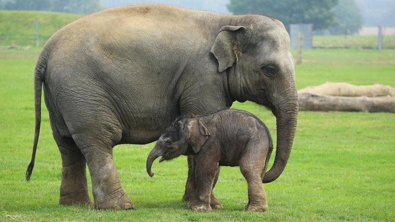 Nằm mơ thấy voi là điềm báo gì, đánh con gì?