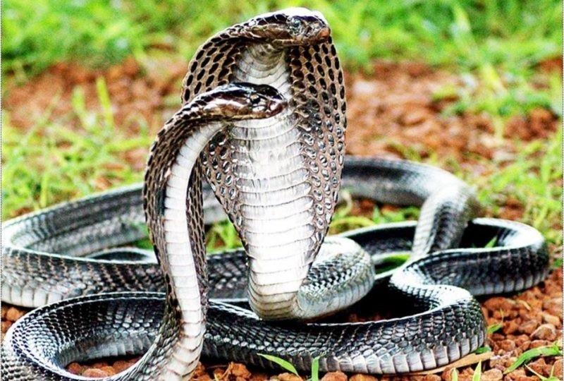 Mơ thấy 2 con rắn là điềm gì?