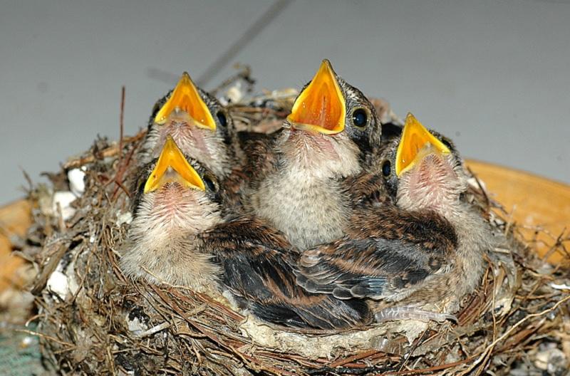 Mơ thấy chim non là điềm gì? Nằm mơ thấy chim đánh con gì?