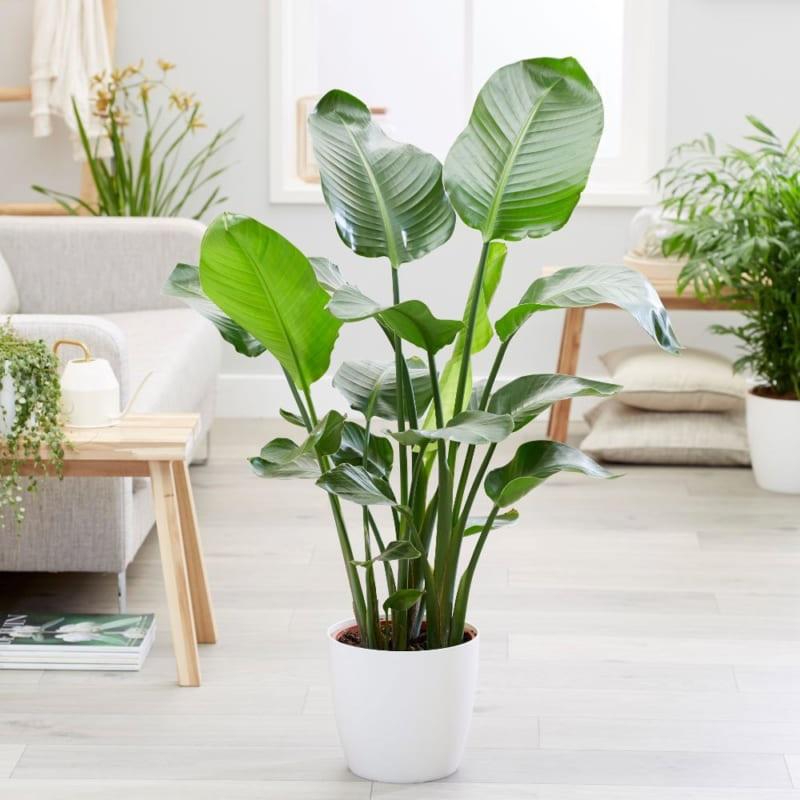 Vị trí hợp phong thủy khi trồng cây chuối cảnh trong nhà