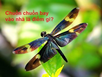 Chuồn chuồn bay vào nhà là điềm gì?