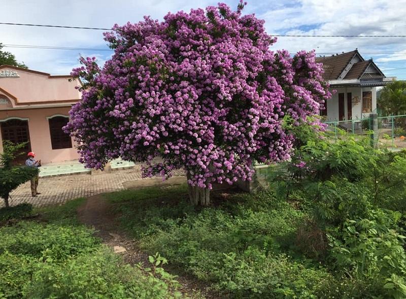 Có nên trồng cây bằng lăng trước nhà? Cây bằng lăng hợp với người tuổi gì?