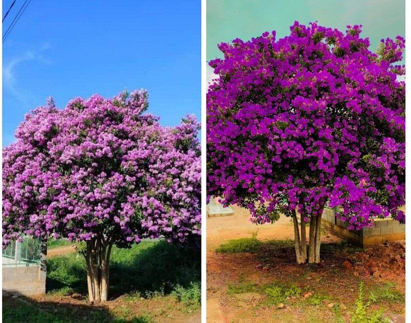 Có nên trồng cây bằng lăng trước nhà? Đặc điểm của cây bằng lăng